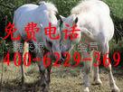出售改良马 种马 观赏马 骑乘马 白龙马 枣红马 免费提供养殖技术