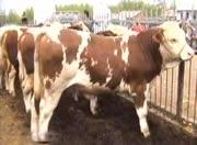 山东肉牛养殖基地 出售改良肉牛6000头 量大免费运输