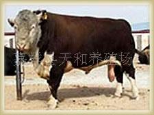 改良肉牛安格斯牛 西门塔尔牛 利木赞牛 夏洛来牛 育肥小公牛