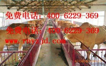 养殖鲁西黄牛的效益分析 售改良肉牛6000头价格底