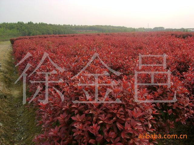 常年低价供应绿化苗木类红叶石楠商品苗小苗
