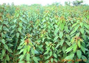 批发供应l绿化苗木、花卉种子、乌桕种子