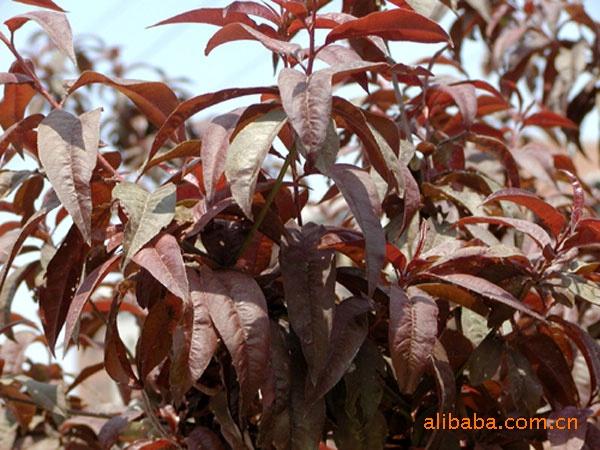 红叶李,绿化苗木,乔木,树苗,花卉。