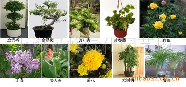供应盆栽花卉、草花换季、草花种植、盆景批发