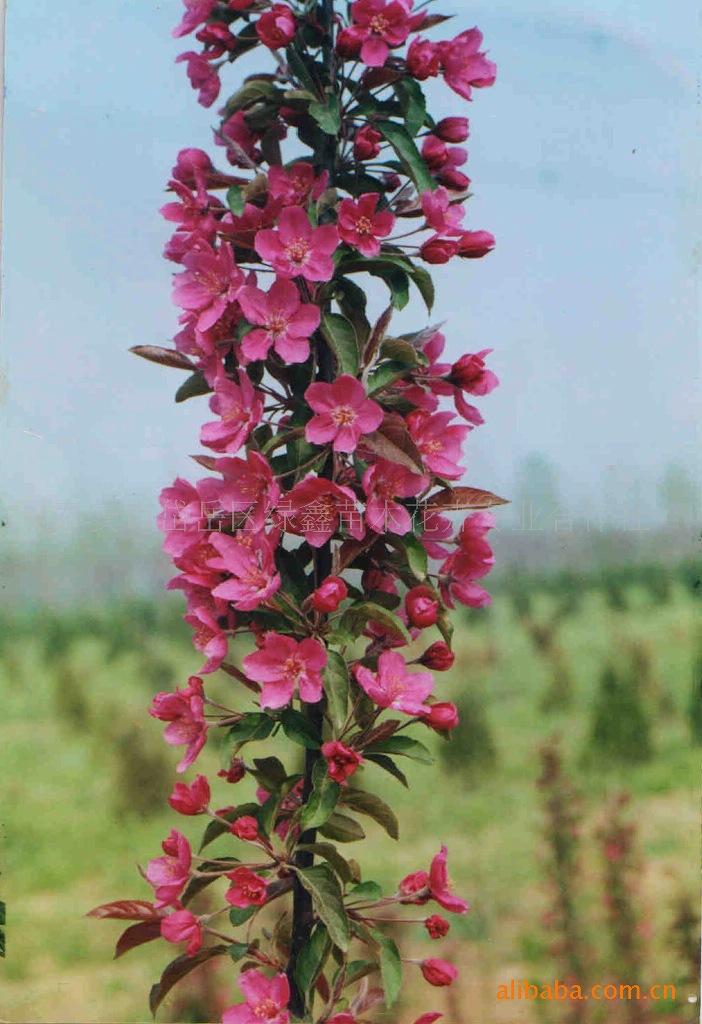供应绿化苗木-------- 海棠苗泰安市绿鑫苗木花卉合作社