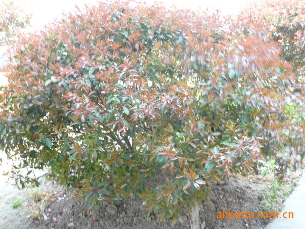 红叶石楠球,红叶石楠树,红叶石楠小苗,红叶石楠扦插苗