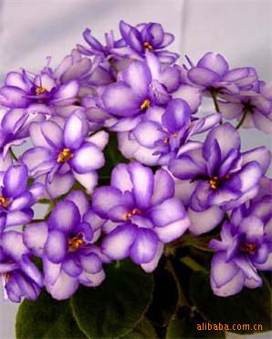 批发供应精美花卉种子 香紫罗兰(图)