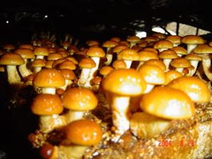 大量供应 盐渍滑子菇/滑子蘑 农户自产 天然品质保障