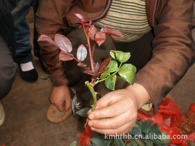 大量供应优质各品种玫瑰苗