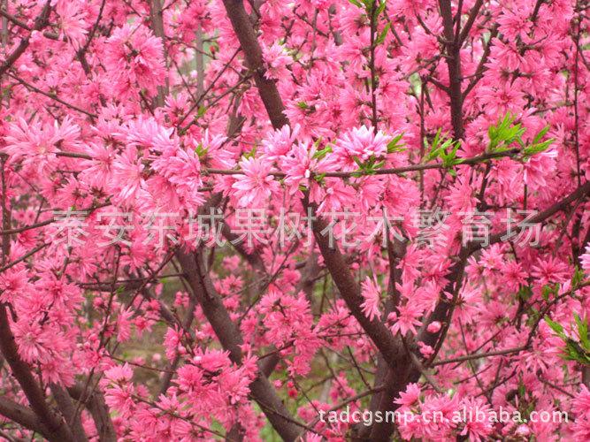 供应优美的:榆叶梅、美人梅、红叶李等花卉苗木。