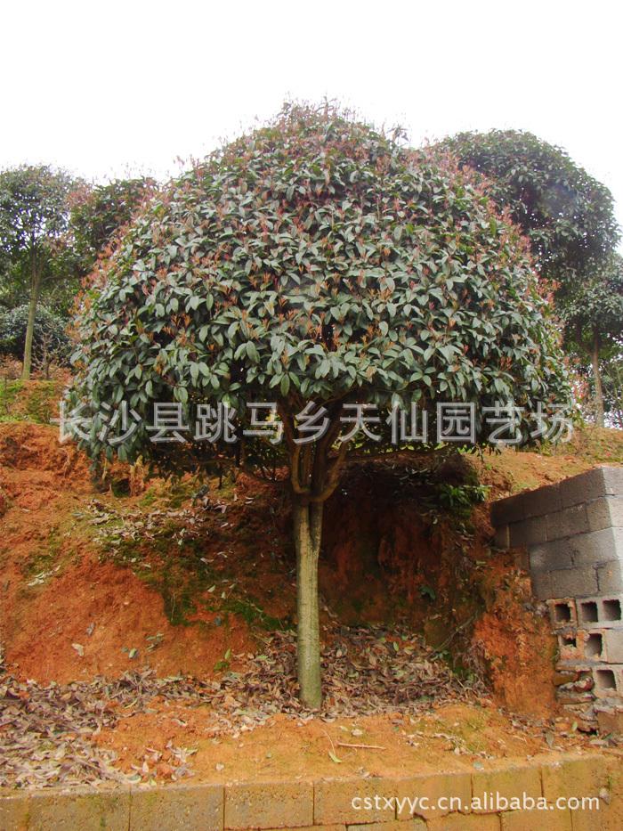 供应湖南绿化苗木 精品桂花树