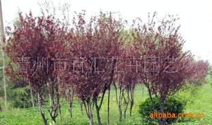 百汇花卉园艺场 厂家供应 优质苗木 诚信企业 优质苗木