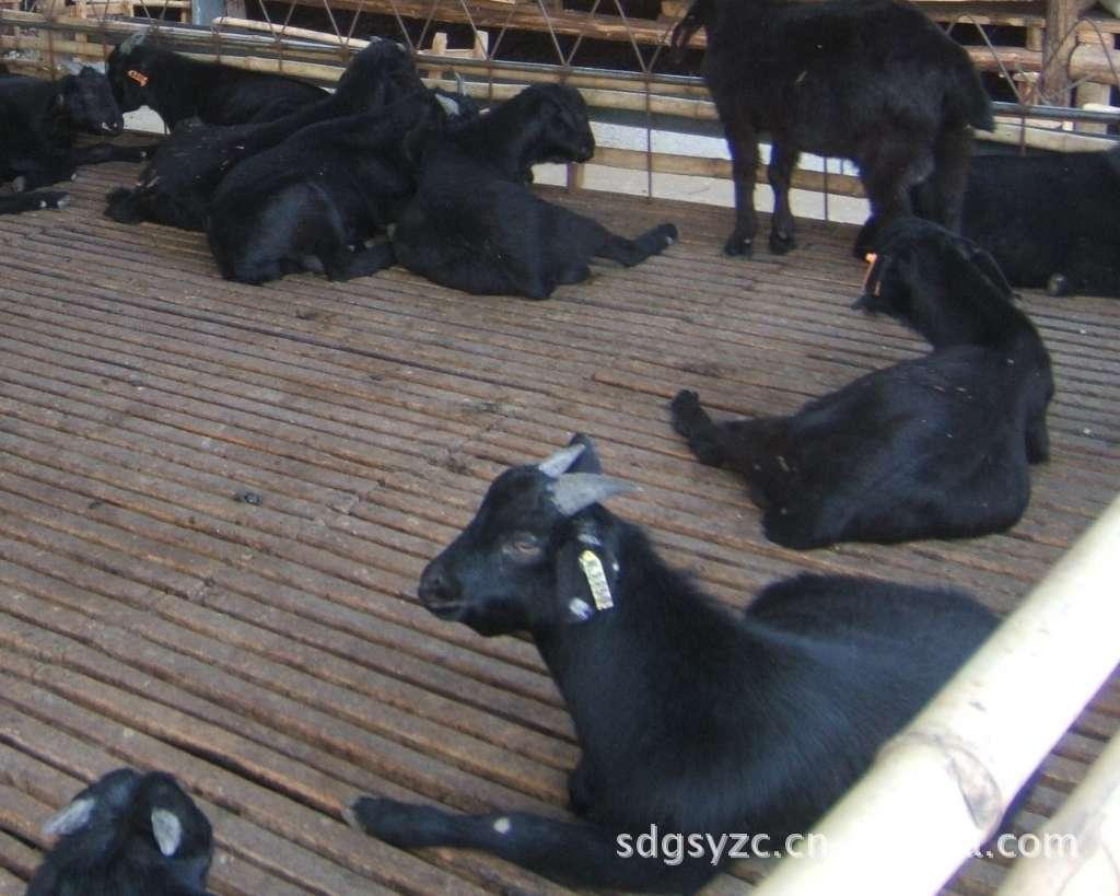 肉羊小羊羔繁殖肉羊技术 白山羊养殖技术黑山羊