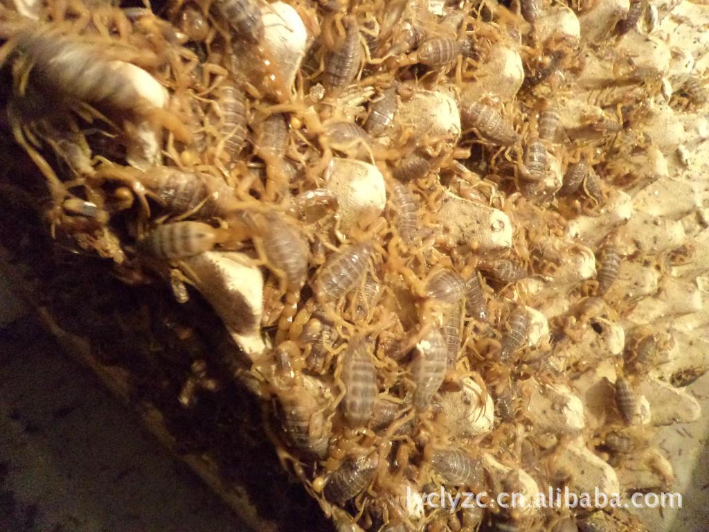 洛阳蝎子 商品蝎 商品蝎洛阳彩玲蝎子养殖场厂家直销 阿里巴巴