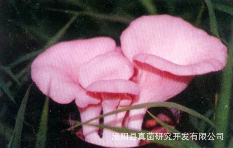 供应优质食用菌  桃红平菇  优质美味  欢迎订购