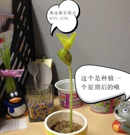 七彩魔豆 带字植物 神奇彩色魔豆种子 叶子会长出字的魔豆