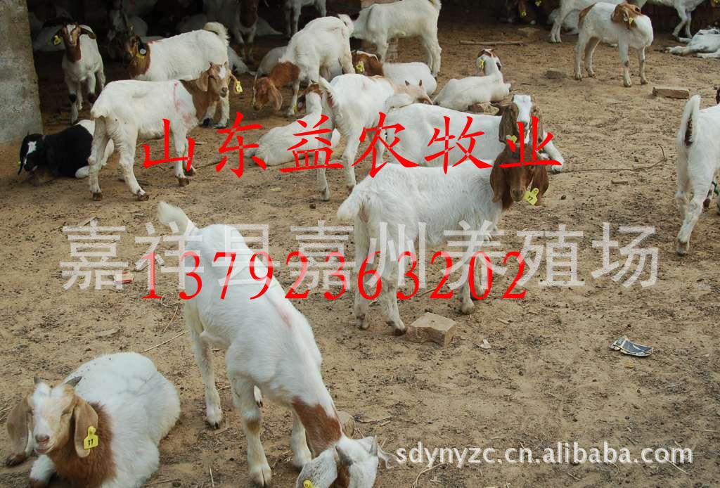山东益农牧销售波尔山羊,如何饲养波尔山羊,波尔山羊养殖技术
