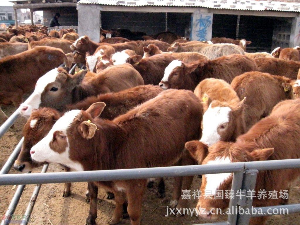 肉牛养殖效益分析,肉牛犊,肉牛电话400-678-3857