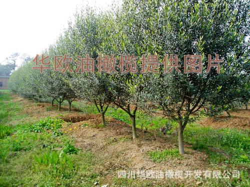 供应油橄榄园林绿化苗木,【庭院新宠】地中海风情