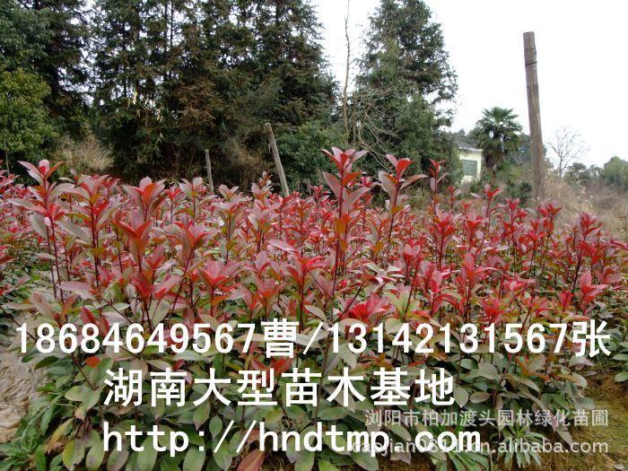 长沙花木 长沙苗木 湖南苗圃 长沙苗圃 求购红叶石楠小苗 红叶石楠小苗价格