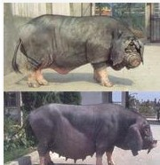 面向全国各地出售太湖猪  太湖母猪养殖技术 苏太母猪市场价格