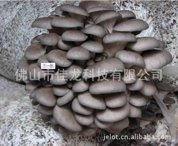 平菇  价廉质优