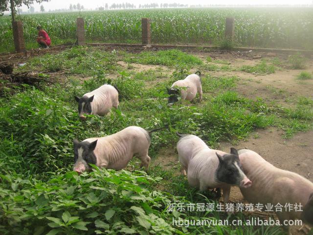 河北冠源生猪养殖合作社.大量供应巴马香猪种猪. 生猪 香猪