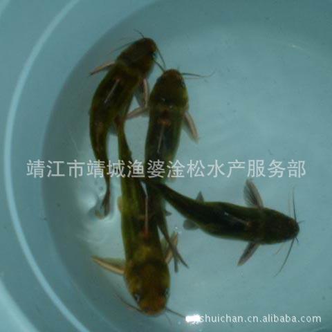 供应鲜活水产(淡水鱼)—黄骨鱼
