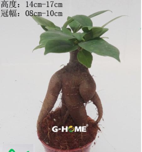 批发室内盆栽,人参榕-自然生(30g)