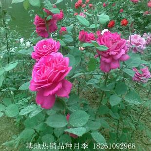基地批发月季 盆栽月季苗 品种月季苗 丰花月季 红帽月季 规格全
