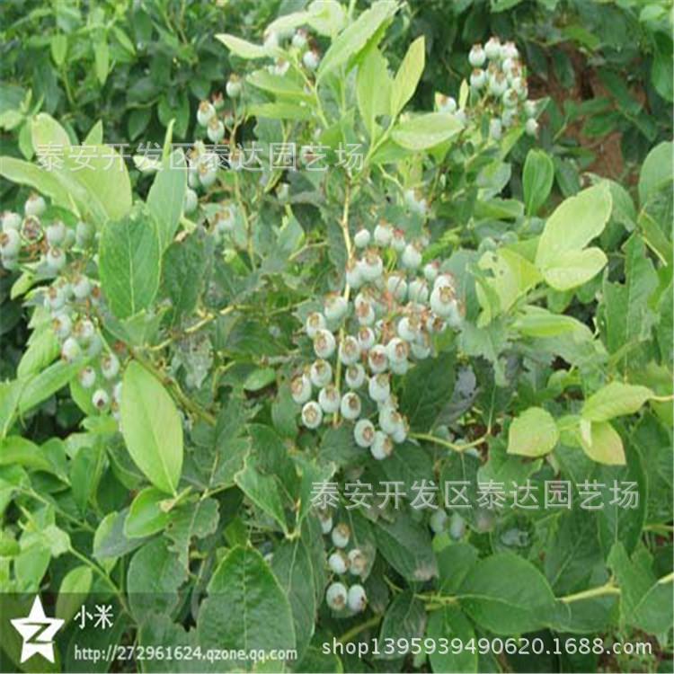 浙江蓝莓苗 果树苗种植 浙江盆栽蓝莓苗 蓝丰蓝莓苗基地 阿里巴巴