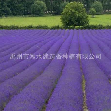 专业供应 特级薰衣草花束 可做薰衣草干花粒