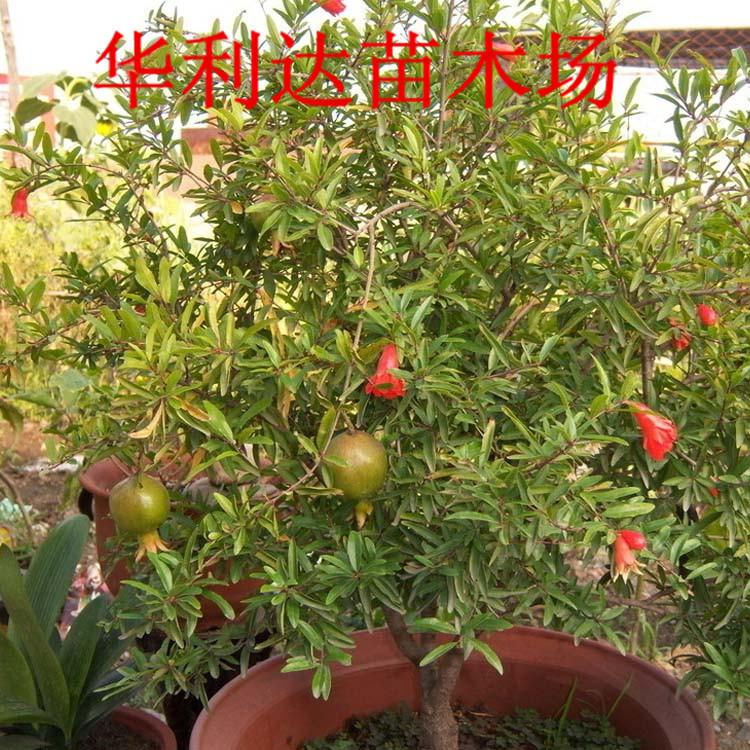 盆栽果树苗 基地出售出售盆栽果树苗 石榴 大笨子 肉厚 味甜 阿里巴巴