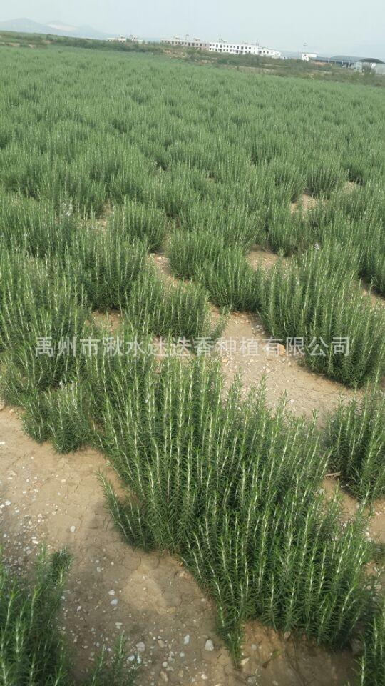 专业培植 高质量大叶迷迭香种苗 精选迷迭香叶子