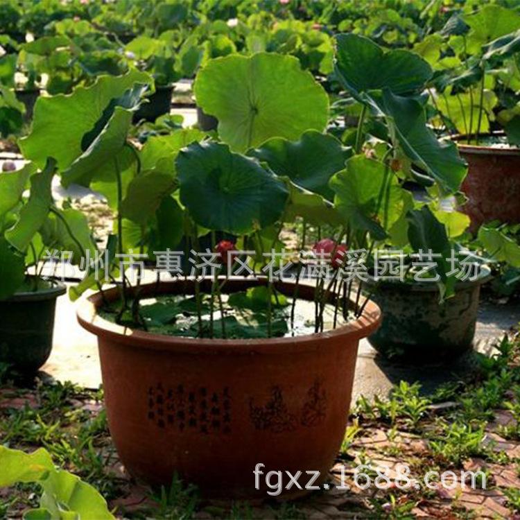 盆栽荷花 优质盆栽 大营养钵荷花 价格 欢迎订购 阿里巴巴