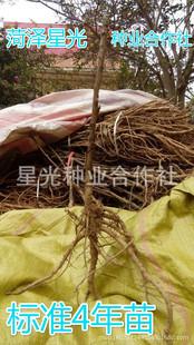 牡丹苗油用优质牡丹苗适用于各种环境易种植