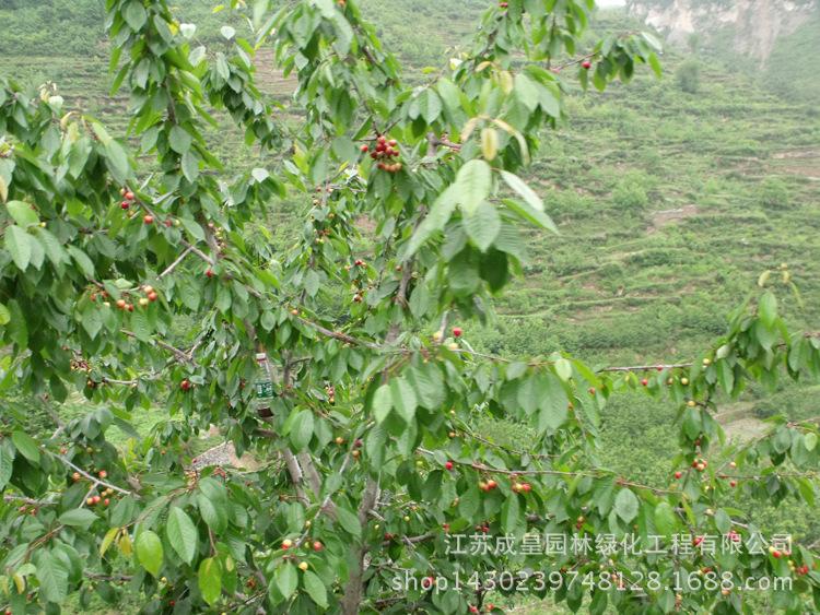 果树 果树苗 车厘子樱桃苗盆栽地栽 樱桃树苗当年结果苗 南方北方种植