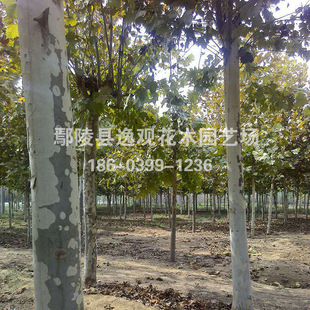 宁夏工程绿化用道路绿化速生法桐 法国梧桐树苗8 10 15公分粗批发