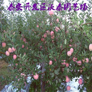 耐储运苹果品种 美国8号苹果苗基地热销品种 矮化苹果苗价格