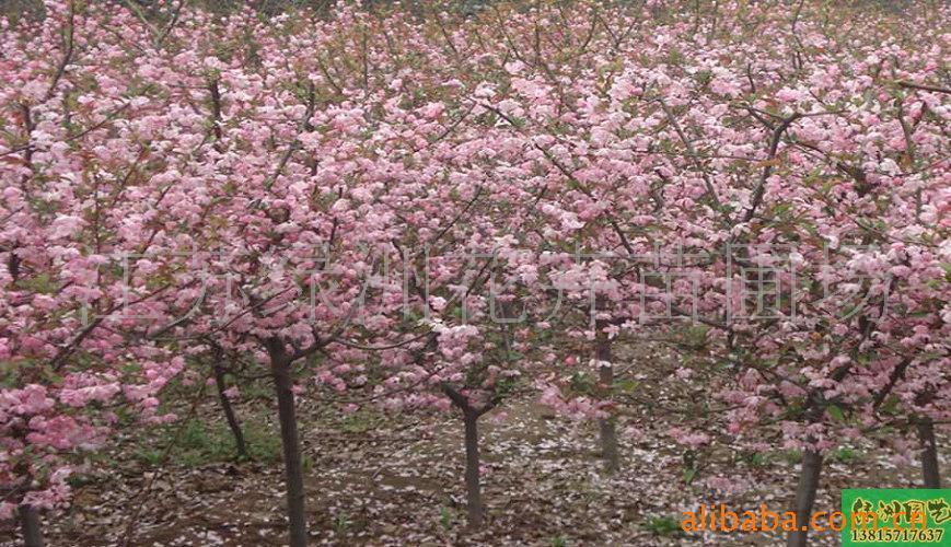 大量供应红枫、樱花、香樟树、丁香等花卉苗木