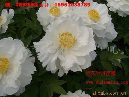 供应牡丹苗,芍药苗,牡丹切花,芍药切花,盆栽牡丹