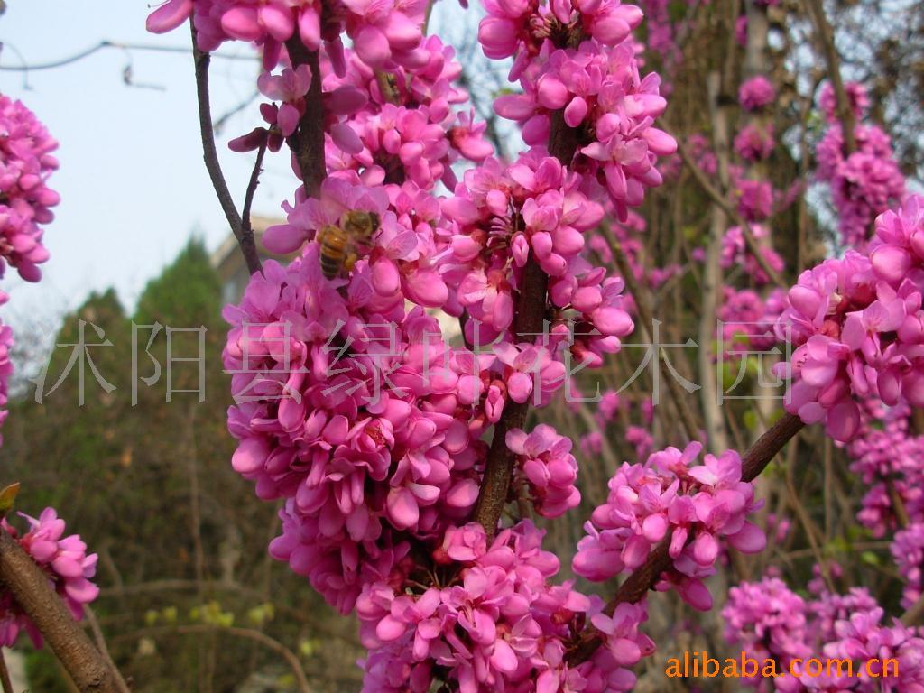 供应别墅小区苗木,花卉,盆景,风景树,彩色花木
