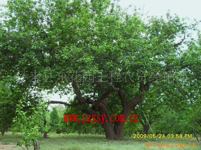 极品富贵海棠树