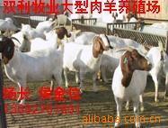 双利牧业大型肉羊养殖繁育基地 销售纯种育肥肉羊山羊绵羊种羊苗