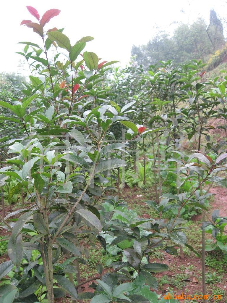 (批发)供应高品质低价位桂花树、桂花苗、绿化、占地