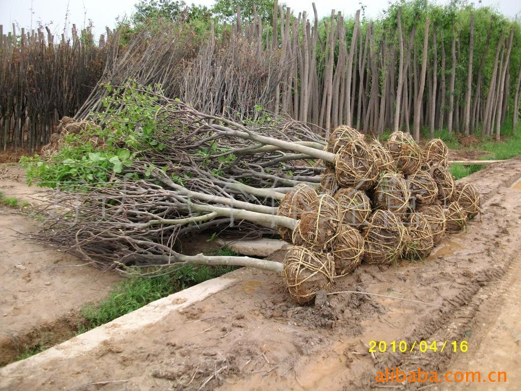 大量销售白玉兰树苗,移栽白玉兰,10-15公分紫玉兰,白玉兰批发