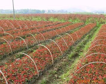 供应各种绿化苗木床苗,花卉种子种苗,苗木种子
